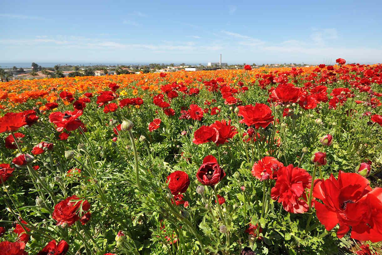 Flower Fields in Carlsbad – Ferkin Family News